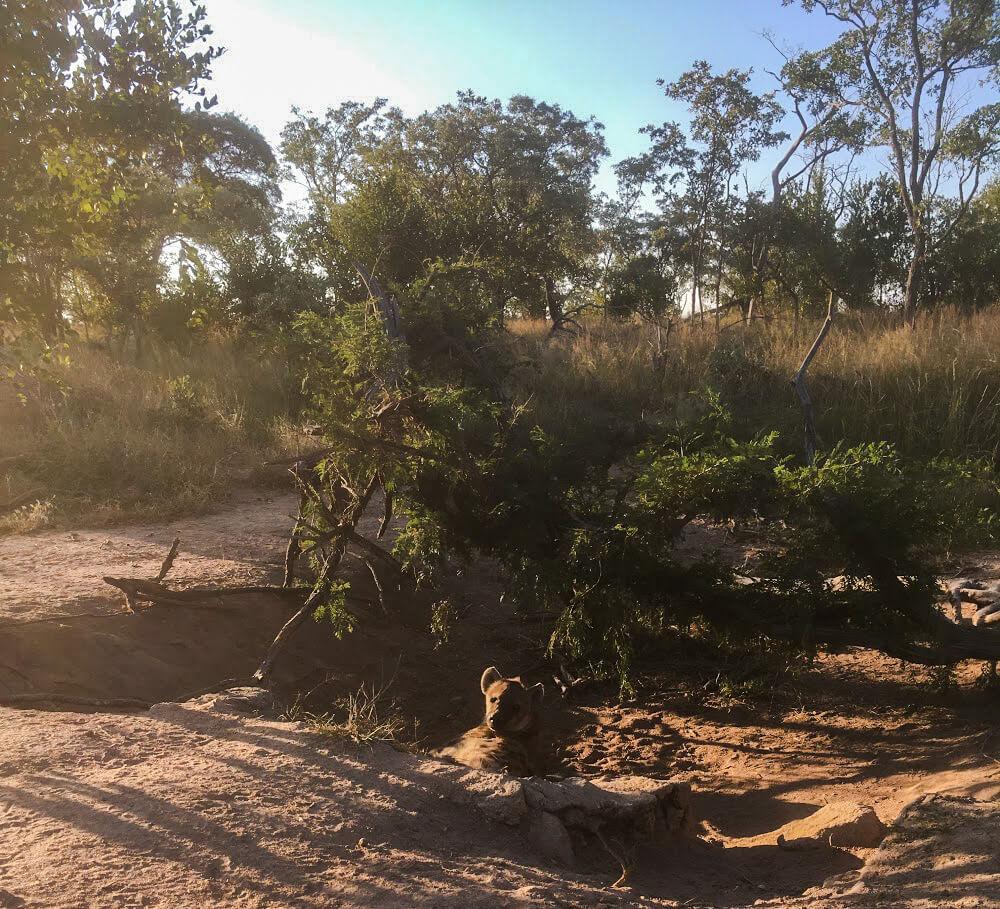 Hyene-afrique-du-sud