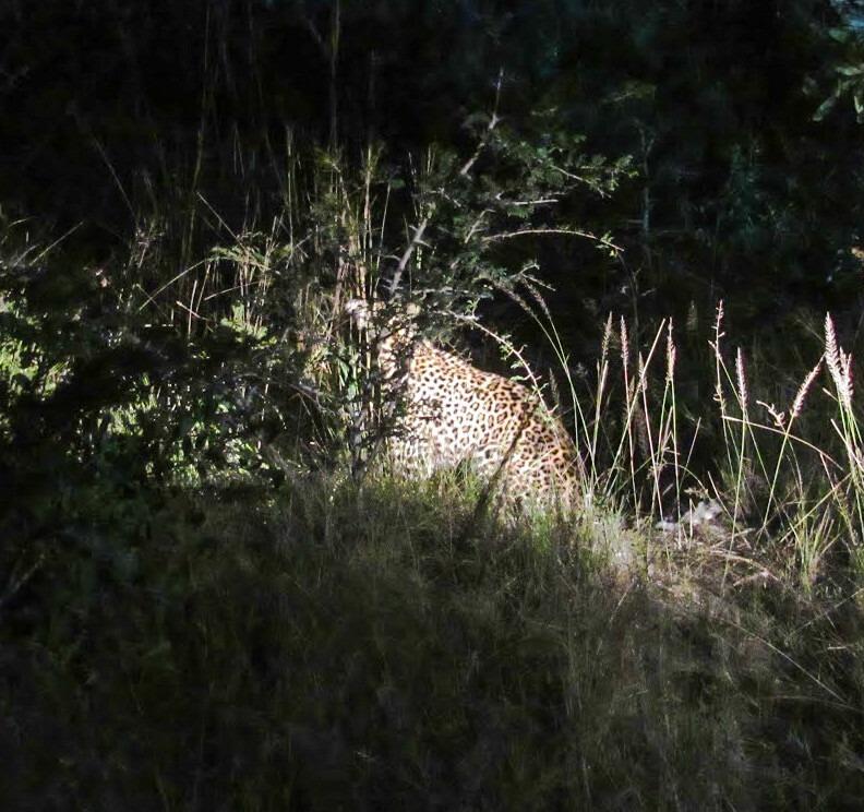 leopard-safari-nocturne