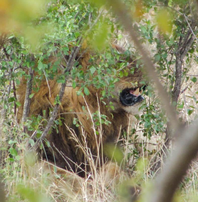 lions-Afrique-du-Sud