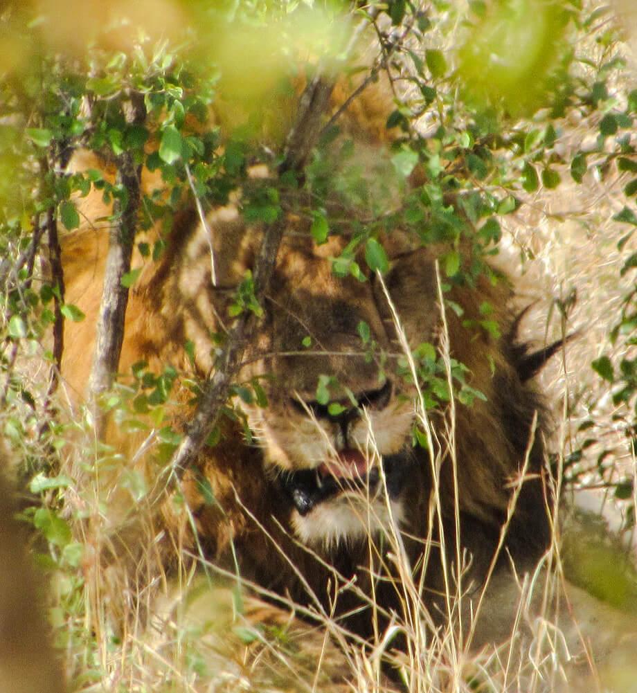 lion-afrique-du-sud