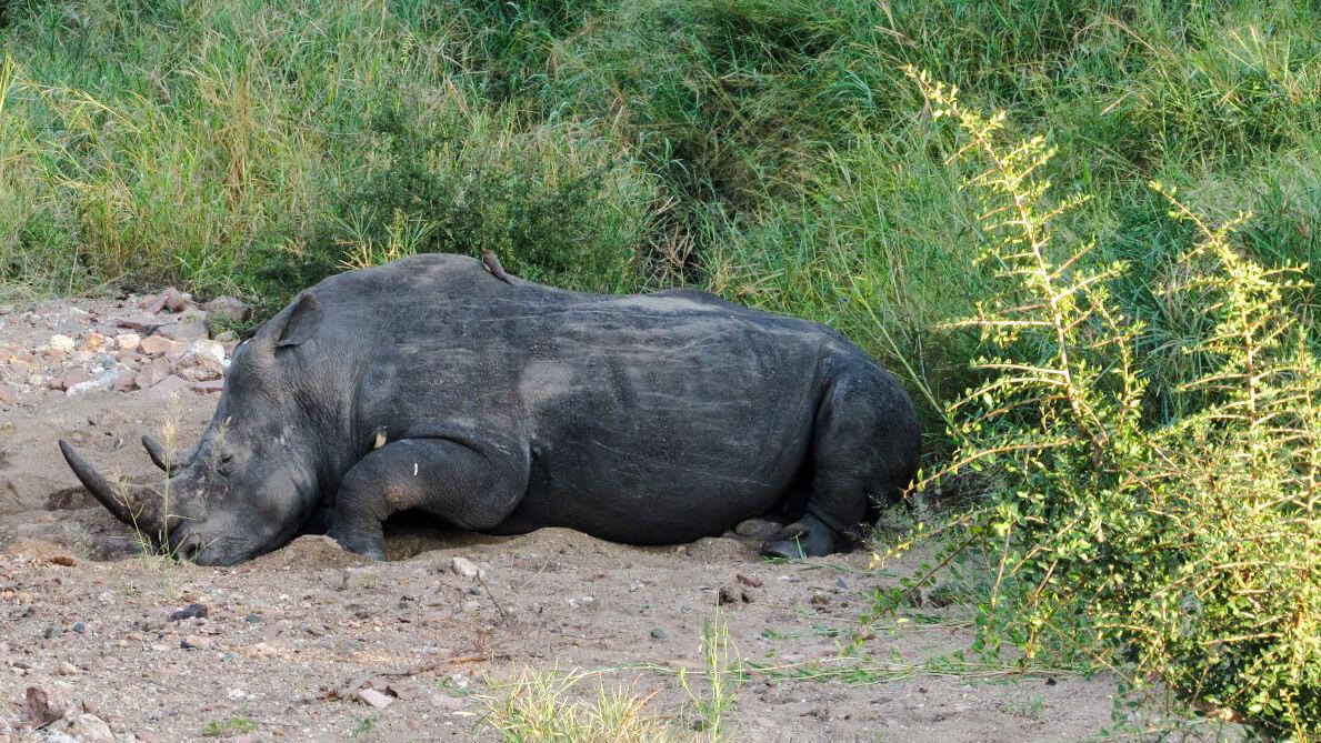 Big5-rhinocéros-Afrique-du-Sud