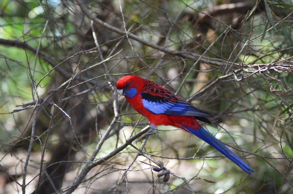 Animaux d'Australie : les oiseaux !