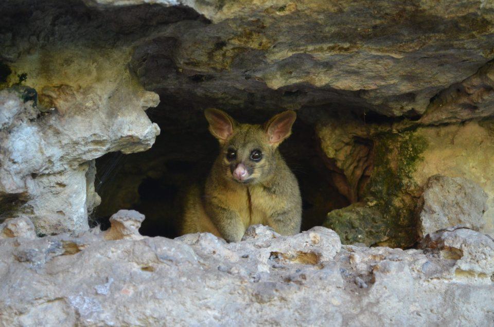Les animaux d'Australie : opossums.