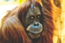 À la rencontre des orangs-outans de Bukit Lawang