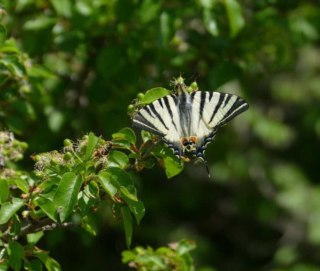 Le Baou des Blancs - papillon