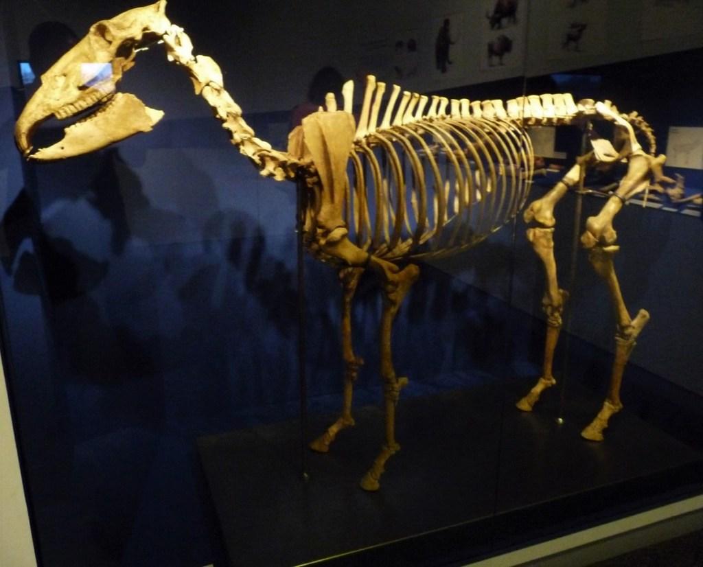 la Roche de Solutré - squelette d'équidé préhistorique au musée