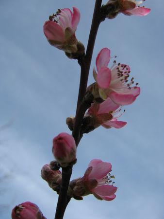 309ae 51514678 p Les fleurs printanières du Gers