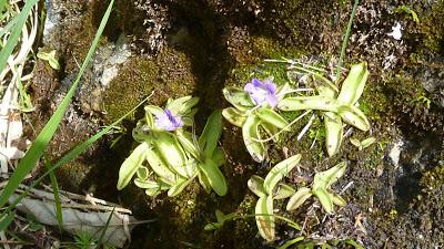 Fleurs des Alpes : Découvrir les arbres, plantes et fleurs de la flore alpine 22