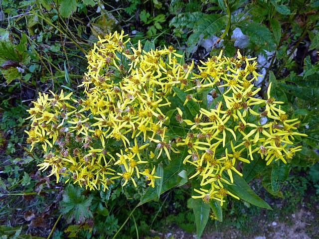 Fleurs des Alpes : Découvrir les arbres, plantes et fleurs de la flore alpine 8