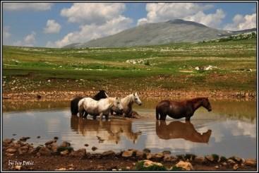 Tarpans dans la région de Livno