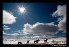 Tarpans dans la neige