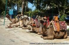 Antalya - chameaux parc de Kursunlu