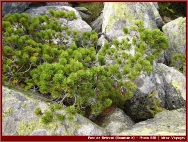 Retezat arbre dans les rochers