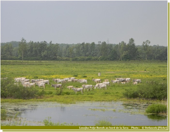 Lonjsko polje boeufs a cornes sur la sava