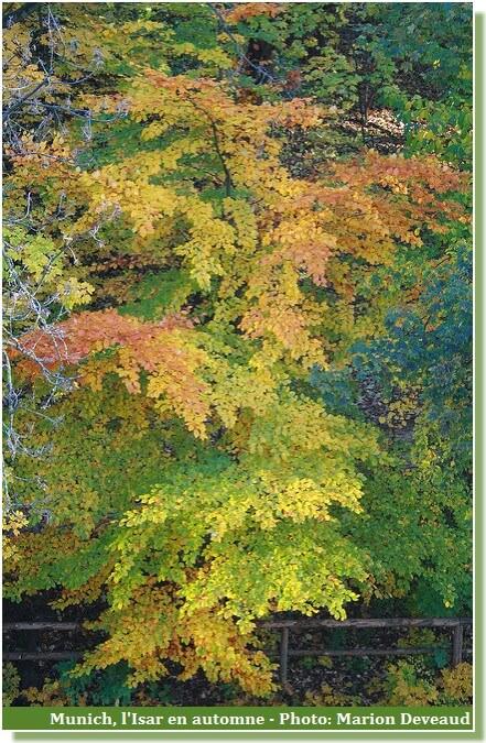 Munich arbre en automne au bord de l'Isar