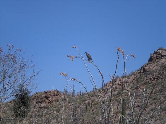 Saguaro NP west Oiseau