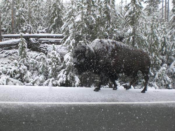 route de Madisson bison sous la neige