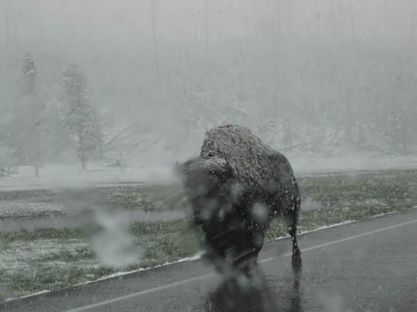 route de Madisson bison sur la route