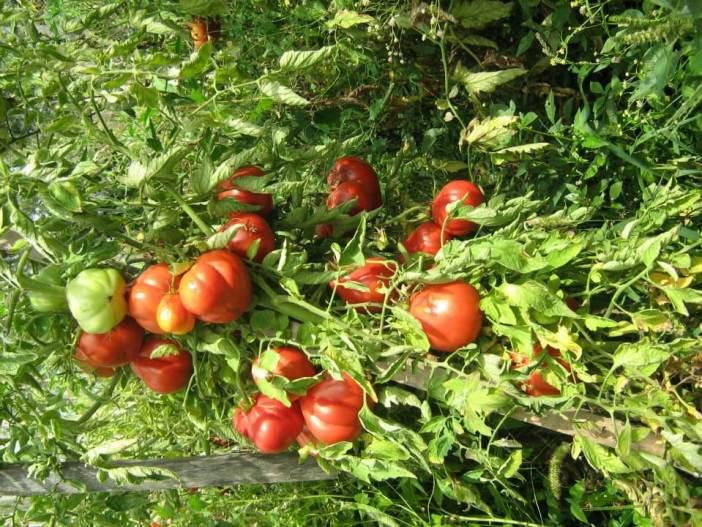 Tomates en Croatie à l'agrotourisme Lackovic à Bilje