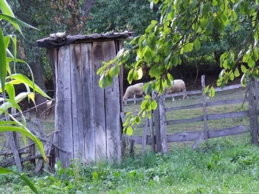 Arilje moutons dans l'enclos (1)
