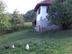 Arilje poules dans le champ (1)