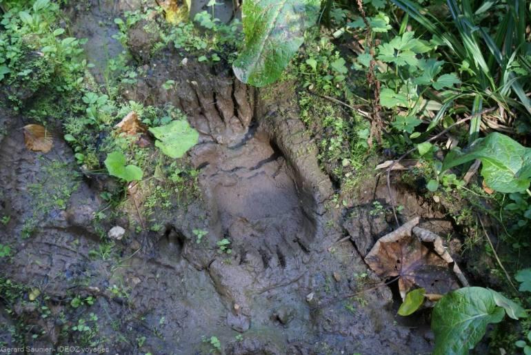 marque d'ours brun dans les montagnes serbes