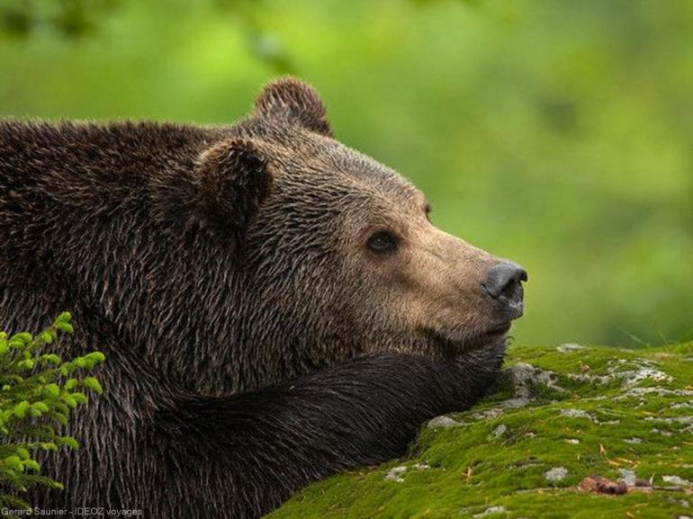 ours brun en serbie