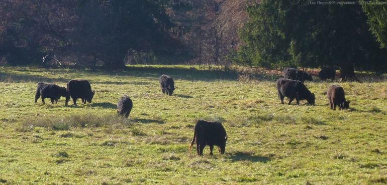 vaches noires angus près du lac ammersee aux environs d'Andechs en bavière