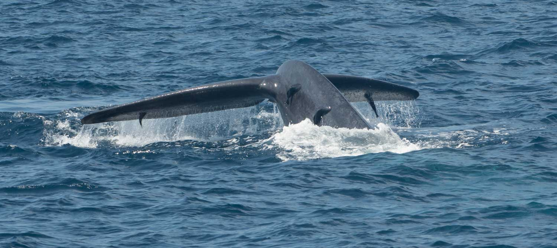 Baleines, Mirissa, Sri Lanka