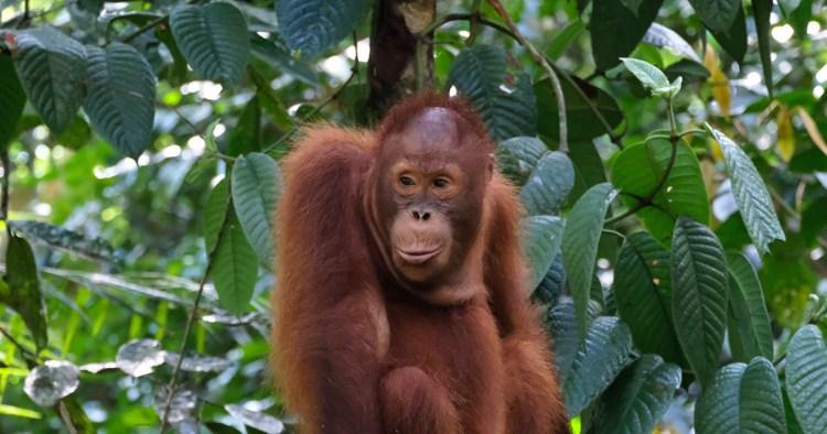 Face à face avec les orangs-outans de Bornéo, au parc Semenggoh