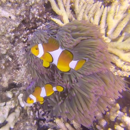 Des poissons clowns et une anémone