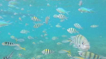 De nombreux poissons en snorkeling à Tioman