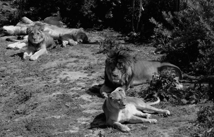 lions-bw