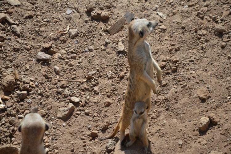 Famille suricate - Jungle Park Tenerife