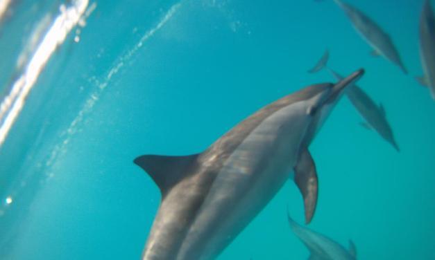 Nager avec les dauphins: un doux rêve éveillé qui peut devenir vôtre
