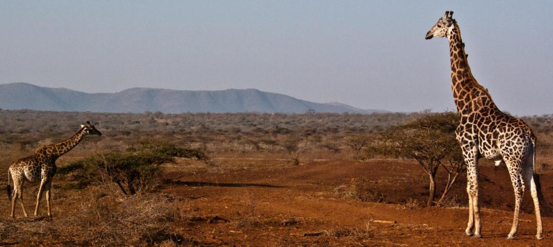 Girafes volontariat en Afrique du Sud