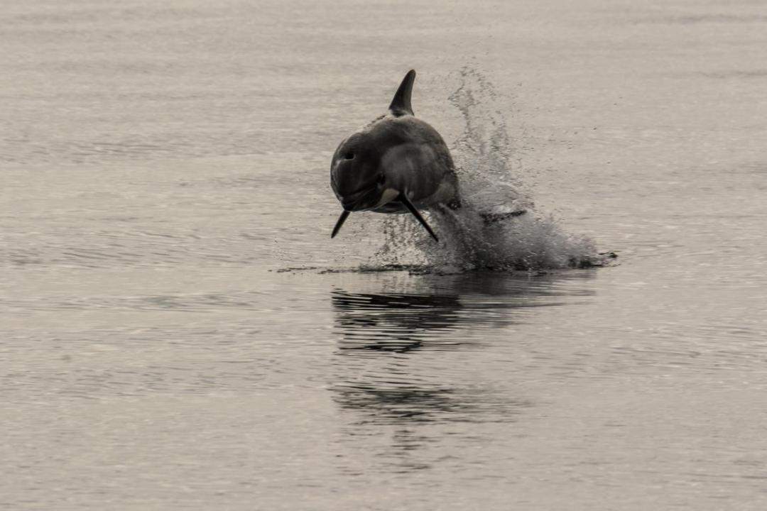 dauphin qui saute