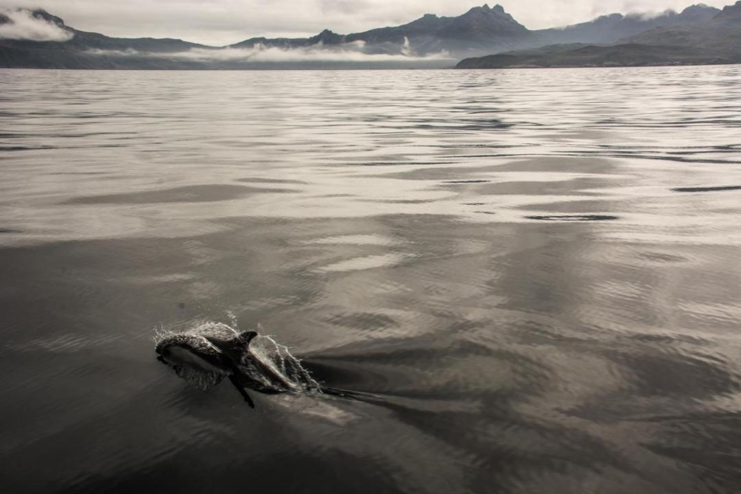 dauphin devant paysage de patagonie