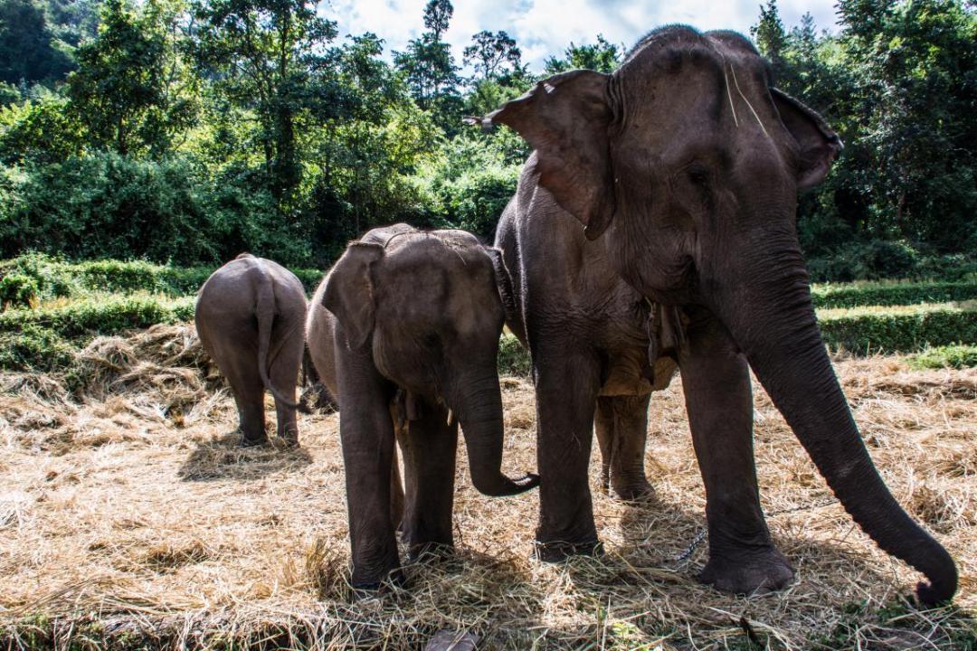 éléphants d'Asie en danger
