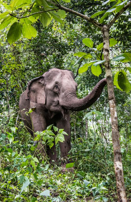 éléphant d'Asie dans la forêt