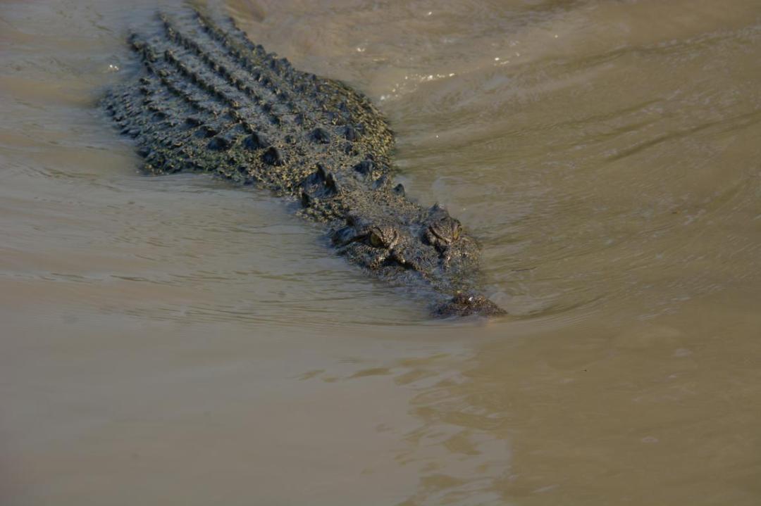 crocodile sauvage d'Australie