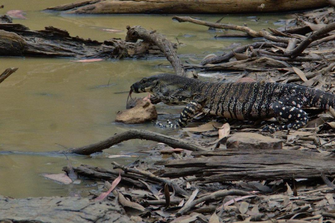 varan dans son milieu sauvage en Australie