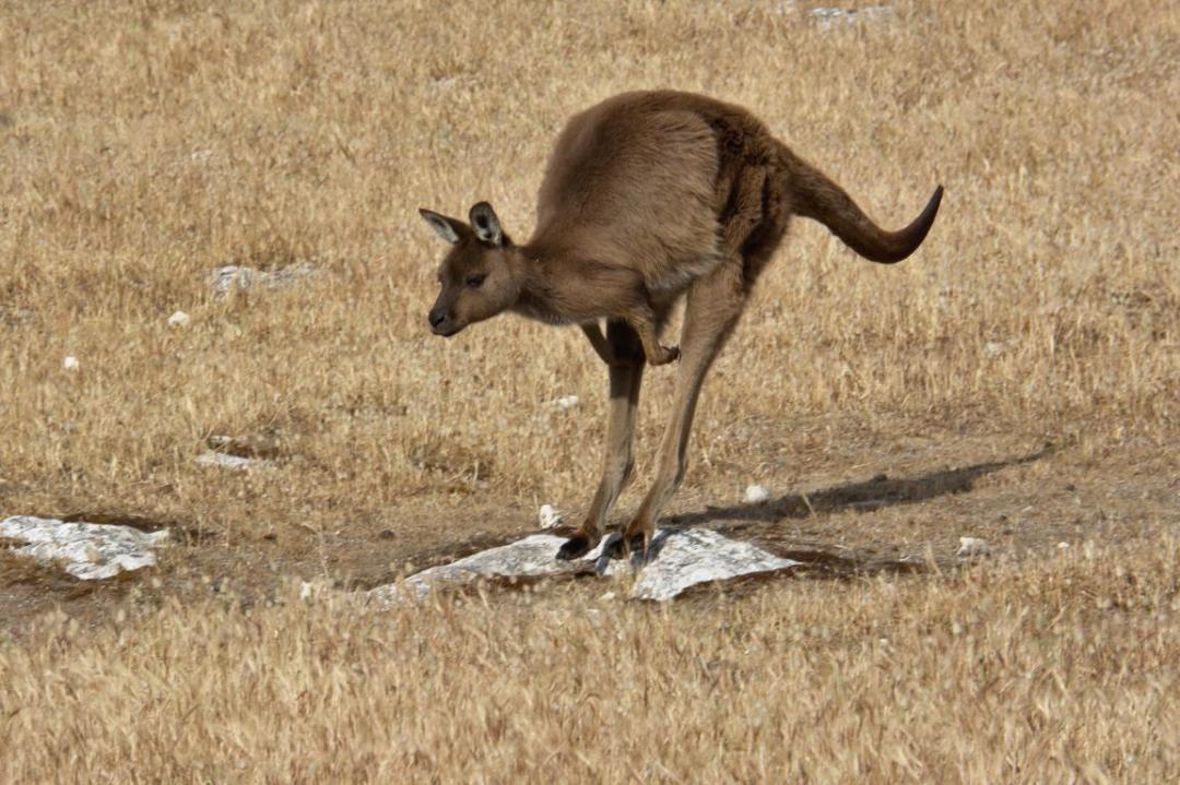 animaux sauvages kangourou en Australie