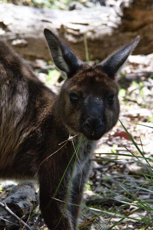 kangourou Australie dans son milieu sauvage