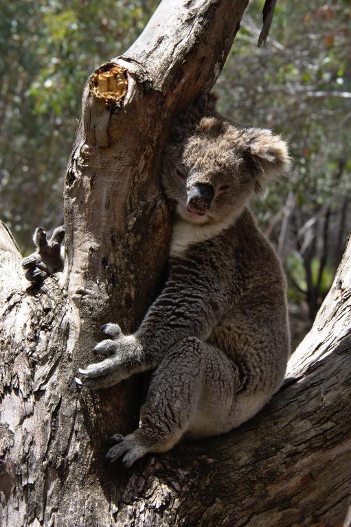 koala animal sauvage en Australie