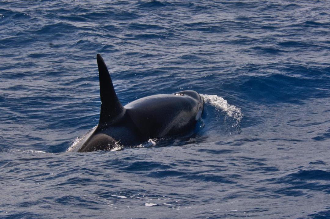 l'orque un des plus majestueux animaux sauvages