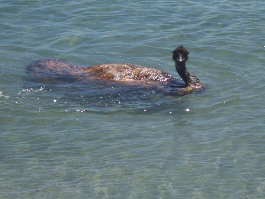 émeu un animal sauvage en Australie
