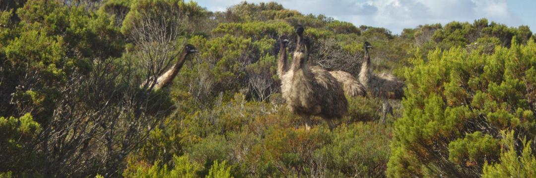 des émeus sauvages en Australie