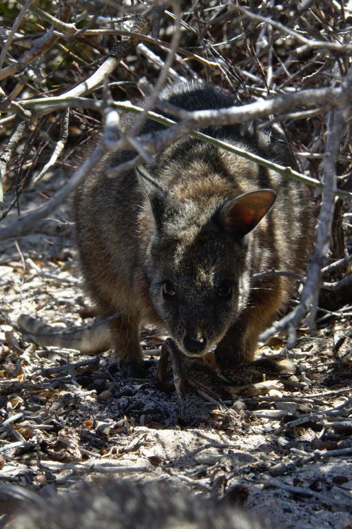 d'autres animaux sauvages d'Australie, les wallabies
