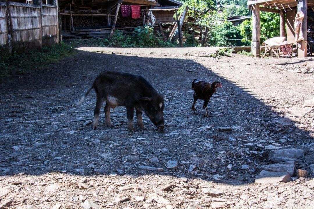 animaux village thailandais